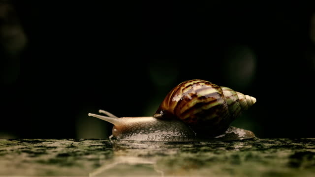 Close up a Brown Snail slowly walk or moving forward under little water rain drop , 4K Dci resolution