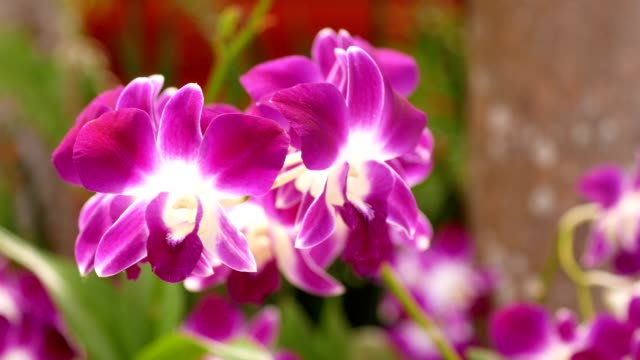 Close Up beautiful white and purple orchid flower blooming in the garden