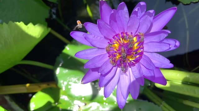 close up bee attempting to land on the lotus flower slow motion - ape operaia video stock e b–roll