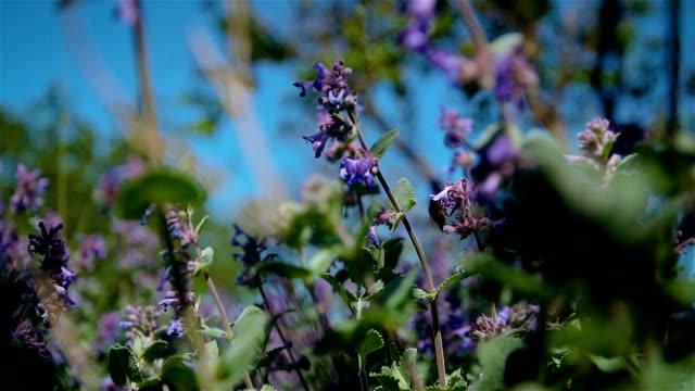 Närbild bee samlar pollen från lila fält lavendel blomma i slow motion video