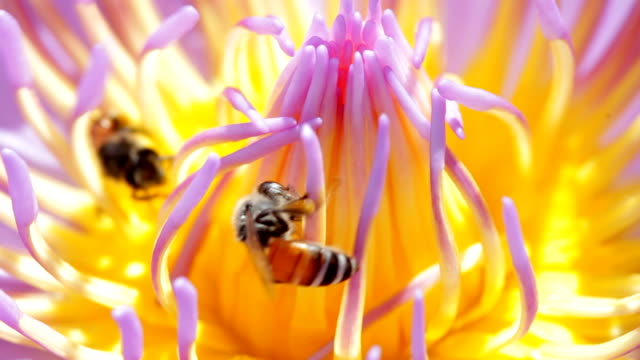Bienen auf Lotusblüte hautnah – Video