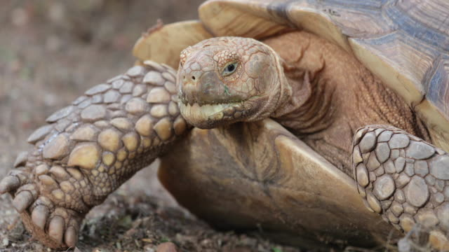 Close up big African spurred tortoise or Sulcata tortoise Close up big African spurred tortoise or Sulcata tortoise tortoise stock videos & royalty-free footage