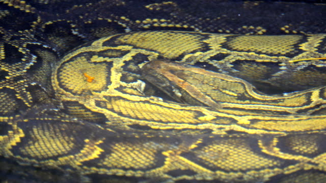 Best Boa Constrictor Stock Videos and Royalty-Free Footage