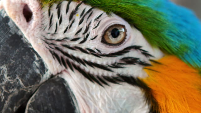 Close up Blue and gold macaw parrot eye.