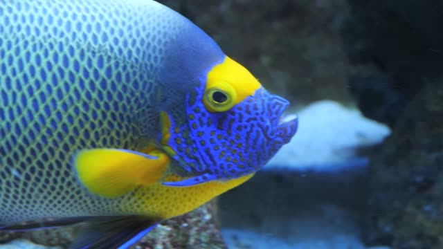 Close up blue face angelfish video