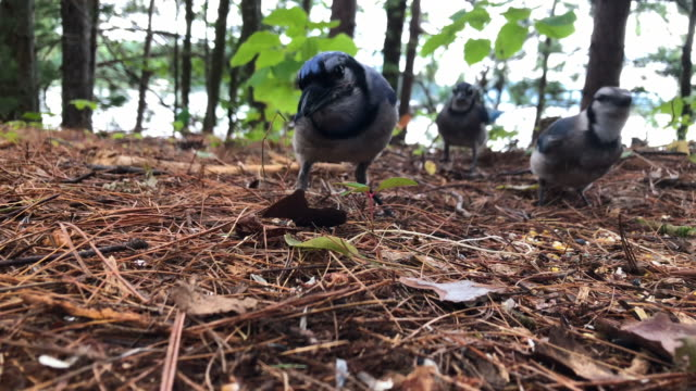 Close Up Blue Jays in Mountains