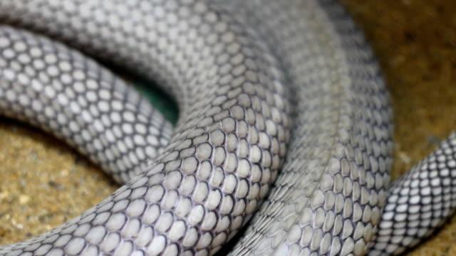 zbliżenie ciała kobra królewska wąż - mata filmów i materiałów b-roll