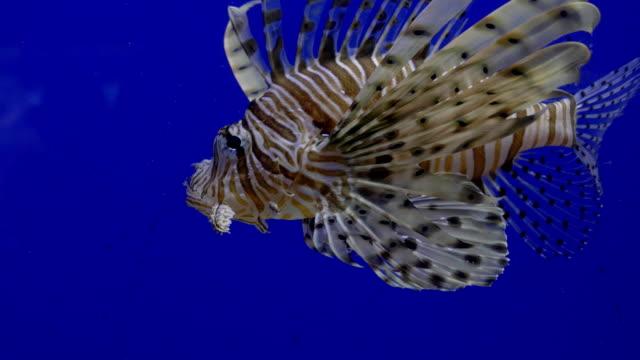 nahaufnahme. hellblauer hintergrund. schwimmt braune fische löwenfische. - süßwasserfisch stock-videos und b-roll-filmmaterial