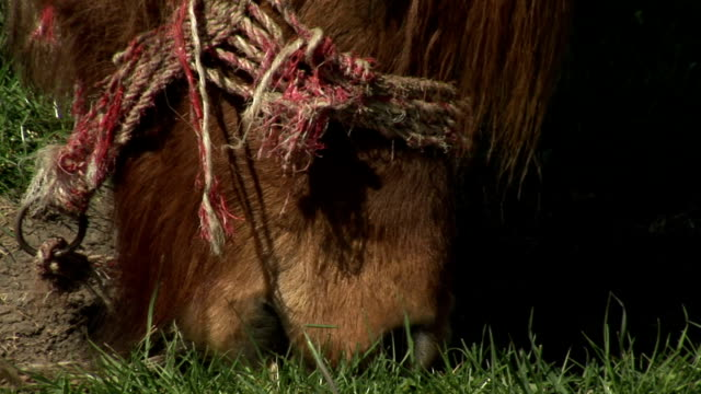 Close Up: Brown Horse Grazing On Juicy Grass