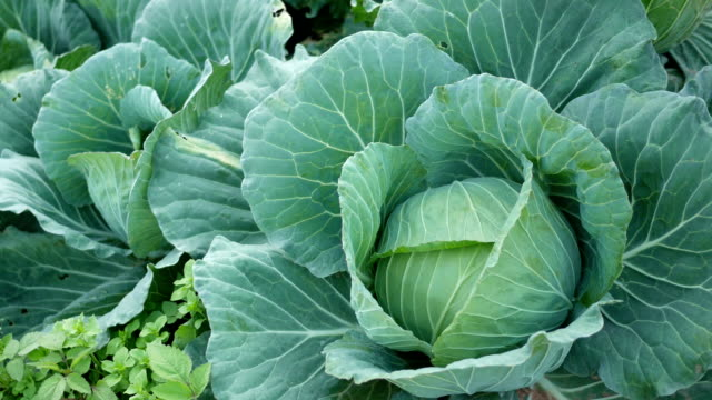 close up cabbage close up cabbage in the garden cabbage stock videos & royalty-free footage