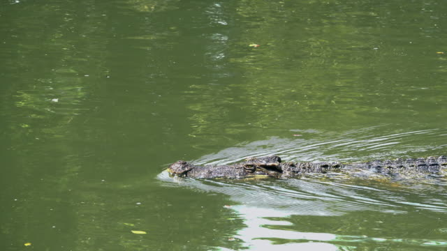 Close up crocodile floating in the pond.