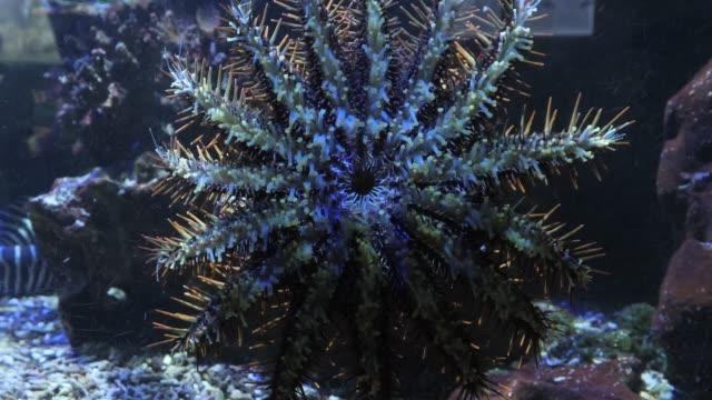 Close up crown of thorns sea star crawling up aquarium glass video