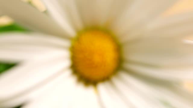 close up daisy - нивяник стоковые видео и кадры b-roll