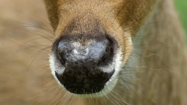 nahaufnahme deer's nose. - großwild stock-videos und b-roll-filmmaterial