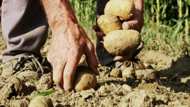 close up farmer harvesting,picking up potatoes in sunny field,slow motion - patate video stock e b–roll