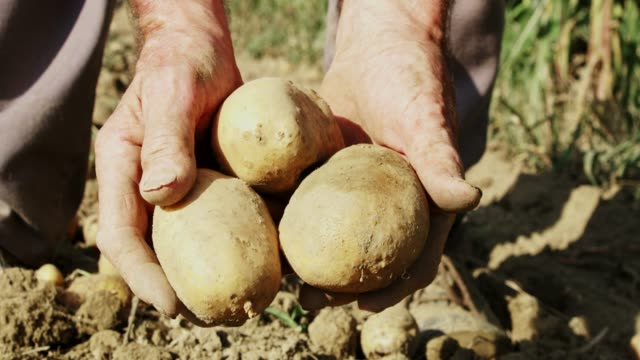 close up farmer harvesting,picking up potatoes,slow motion - patate video stock e b–roll