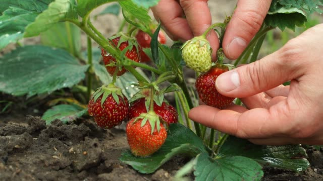 Close up farmer's male hands pick ripe juicy red berry strawberries in green garden. Harvest time. Vegan concept