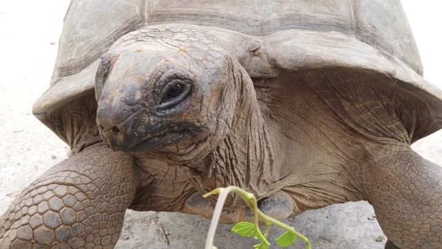 close up feeding giant tortoise close up feeding by hand a Aldabra Giant Tortoise, Aldabrachelys gigantea, a tortoise native to Aldabra atoll. Praslin in Seychelles in Indian Ocean. SLOW MOTION giant tortoise stock videos & royalty-free footage