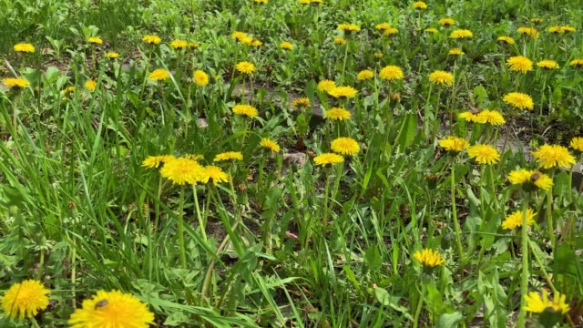 Close up flowers yellow dandelions. Yellow dandelions. Bright dandelion flowers on the background of green spring meadows