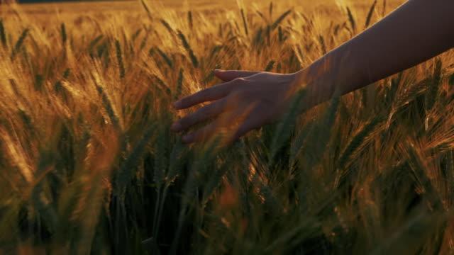 un primo piano dopo lo scatto della mano di una giovane donna che tocca delicatamente i chicchi di grano nel campo nel tramonto estivo. la natura è bellissima. - grano graminacee video stock e b–roll