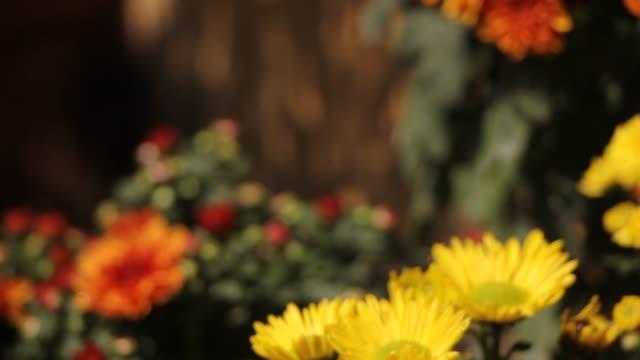 Een close-uplengte van een bos van chrysantenbloemen video