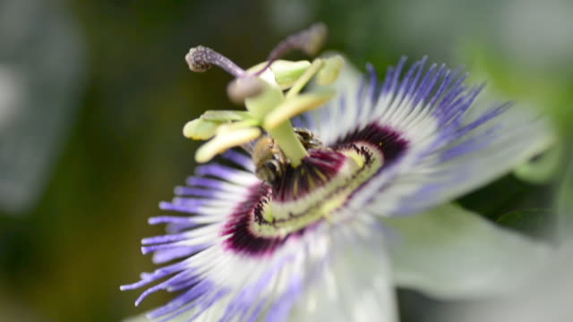 close up footage of a passiflora flower with a pollinating bee on it. - passiflora video stock e b–roll