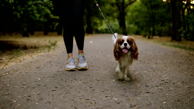 Close up footage of a red and white cavalier king charles spaniel walking in the park with his female owner. Woman in casual clothes and sneakers walking with her pet. No face