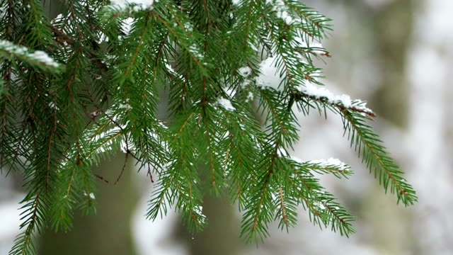 close up footage of frosen fir tree branches under snow. winter forest - pianta sempreverde video stock e b–roll