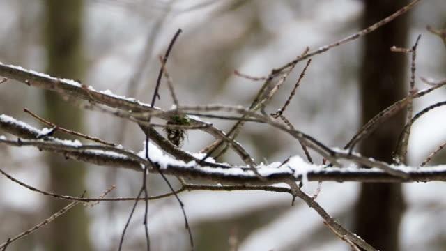 närbild bilder av frusen trädgrenar under snön. winter forest - städsegrön växt bildbanksvideor och videomaterial från bakom kulisserna