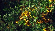 istock Close up footage of yellow seabuckthorn during autumn time. 1286585375