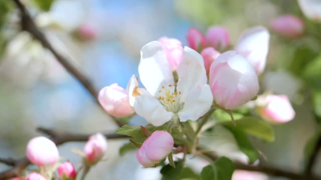 Close up for white apple flower buds on a branch. Closeup on flowering bloom of apple tree blossoming flowers in spring garden. Slow motion. Shallow DOF. Spring day. Blue sky.