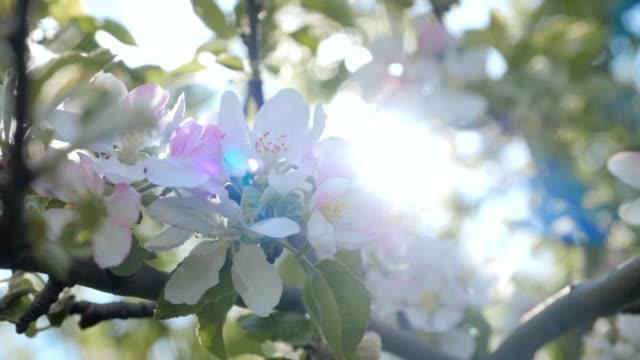 närbild för vita äppel blomma knoppar på en filial. närbild på blommande blomma av äppelträd blommande blommor i vår trädgård. slow motion. mjuk bokeh grunda dof. vårdag. blå himmel. - fruktträdgård bildbanksvideor och videomaterial från bakom kulisserna