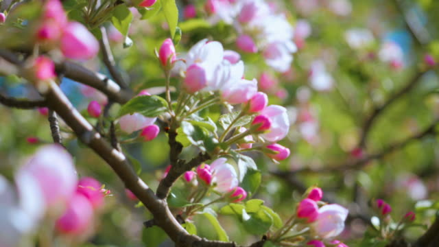close up for white apple flower buds on a branch. closeup on flowering bloom of apple tree blossoming flowers in spring garden. slow motion. shallow dof. spring day. blue sky. - цветение яблони стоковые видео и кадры b-roll