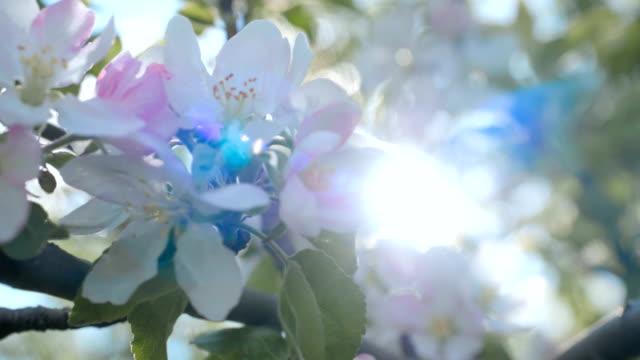 närbild för vita äppelblomknoppar på en gren. närbild på blommande blomning av äppelträd blommande blommor i vårträdgården. slow motion. grunt dof. vårdag. blå himmel. - äppelblom bildbanksvideor och videomaterial från bakom kulisserna