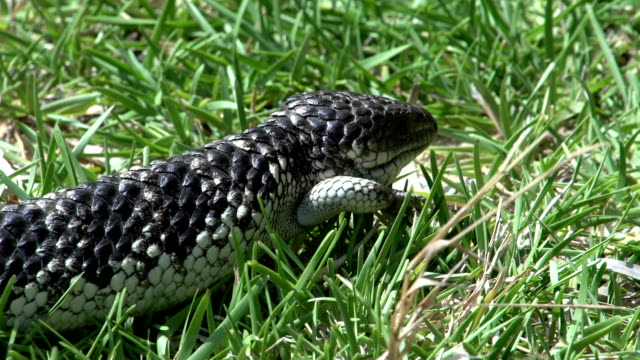 Close up from a Shingleback Lizard Close up from a Shingleback Lizard walking through the grass in Western Australia skink stock videos & royalty-free footage