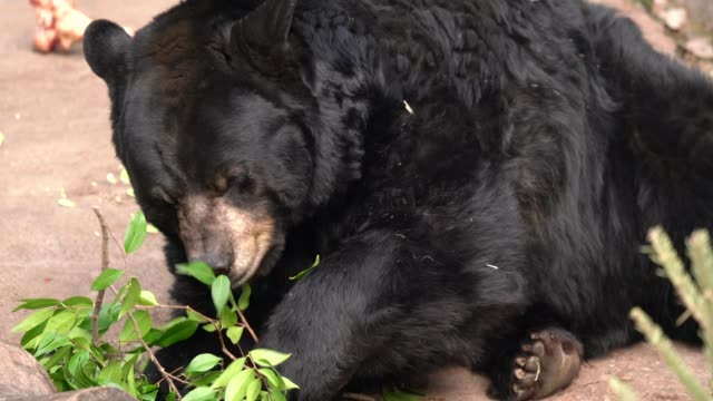 close up, front view wild bear eats leaves off branch