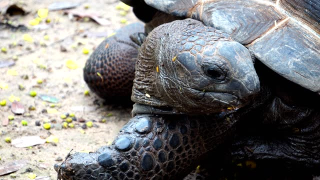 close up - giant leopard tortoise - isole mauritius video stock e b–roll