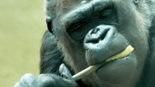 stockvideo's en b-roll-footage met close up-gorilla kauwen op een stokje - gorilla