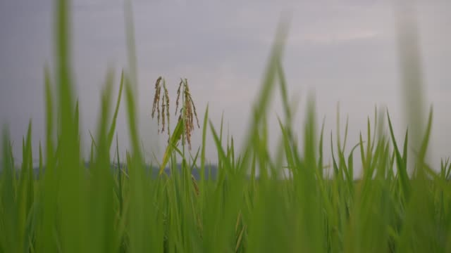 nahaufnahme grüner paddy - strohhut stock-videos und b-roll-filmmaterial