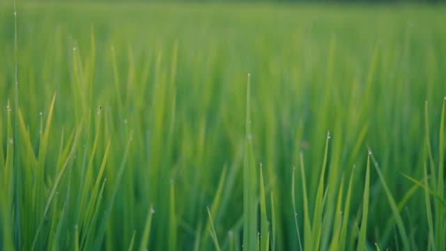 風が吹いて緑の若い田んぼの質感をクローズアップ。スライダーショット。 - 水田点の映像素材/bロール