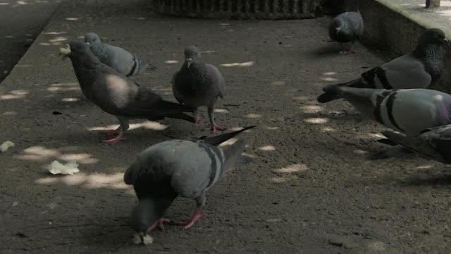close up grey pigeon bird with 4k resolution. - group of people filmów i materiałów b-roll
