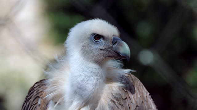 Close Up Griffon Vulture Head Close Up Portrait Of A Griffon Vulture Head (Gyps Fulvus), Also Known As The Eurasian Griffon - DCi 4K Resolution vulture stock videos & royalty-free footage