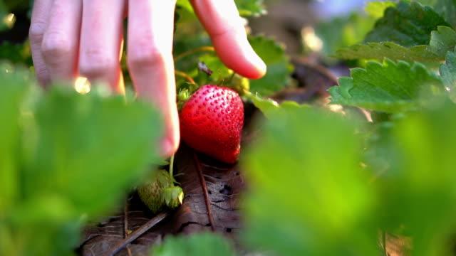 vídeos de stock e filmes b-roll de close up hand picking strawberry in morning organic farm slow motion - picking fruit