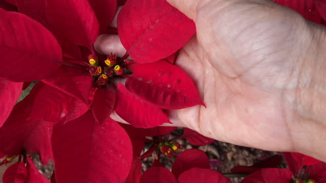 Close up , POV , Hand touching fresh red Poinsettia tree , agriculture themes