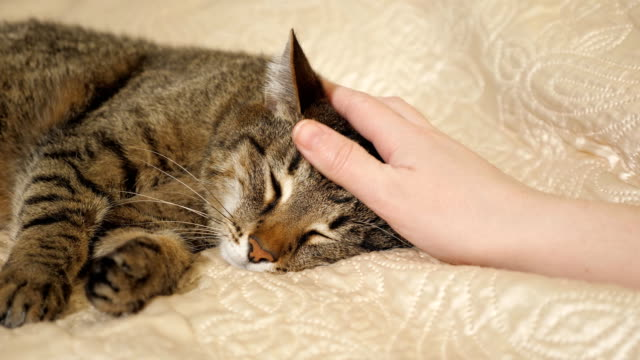 Close up hands of the girl plays with sleeping cute tabby cat