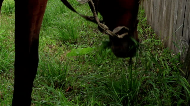 Close up harnessed horse grazing eats grass village countryside video