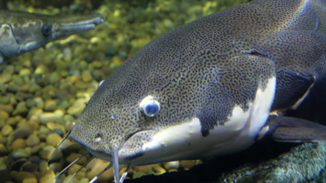 close up head catfish are swimming. - siluriformes video stock e b–roll