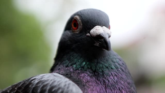 close up head of speed racing pigeon bird - colombaccio video stock e b–roll