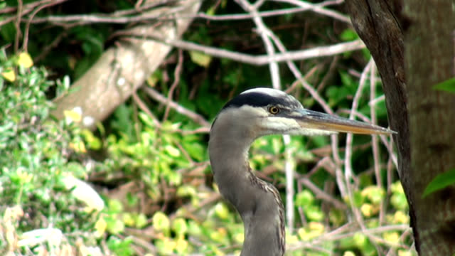 Close up head shot, of a Great Blue Heron A close up head shot, of a Great Blue Heron, Ardea herodias, in the early morning on a tree over the historic Hillsborough River, Sulphur Springs, Florida. PAL Format water bird stock videos & royalty-free footage