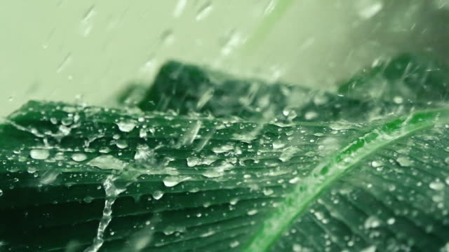 close up heavy rainfall on tropical green banana leaf , slow motion shot - естественное условие стоковые видео и кадры b-roll